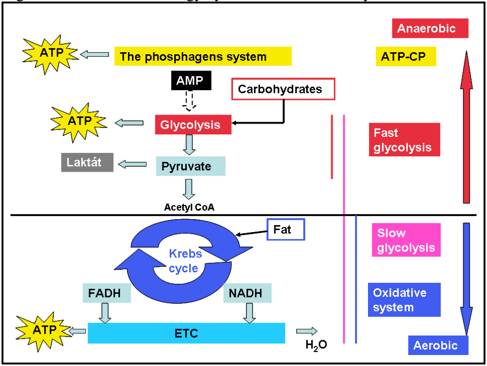 atp resynthesis aerobic system Slowest system to provide energy for atp resynthesis due to complex nature of  its  the contribution of the aerobic system to energy production increases whilst .